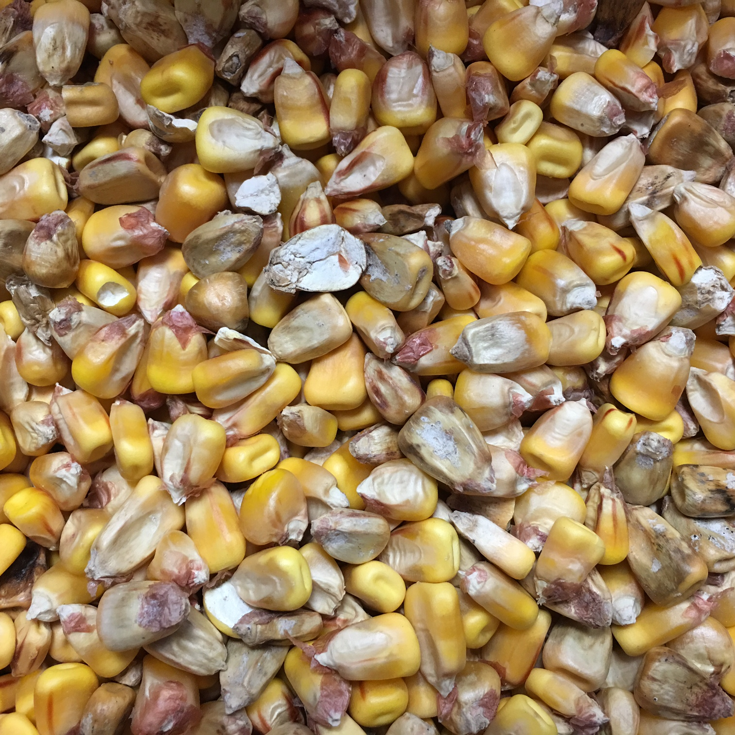 Watch Out for Corn Ear Rot | Brookside Labs